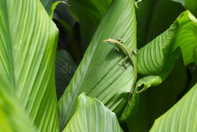 Carolina Anole Lizard Gecko in Hawaii royalty free stock image