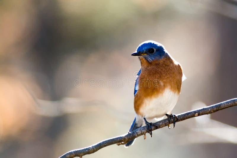 Carolina Bluebird su un ramo immagini stock