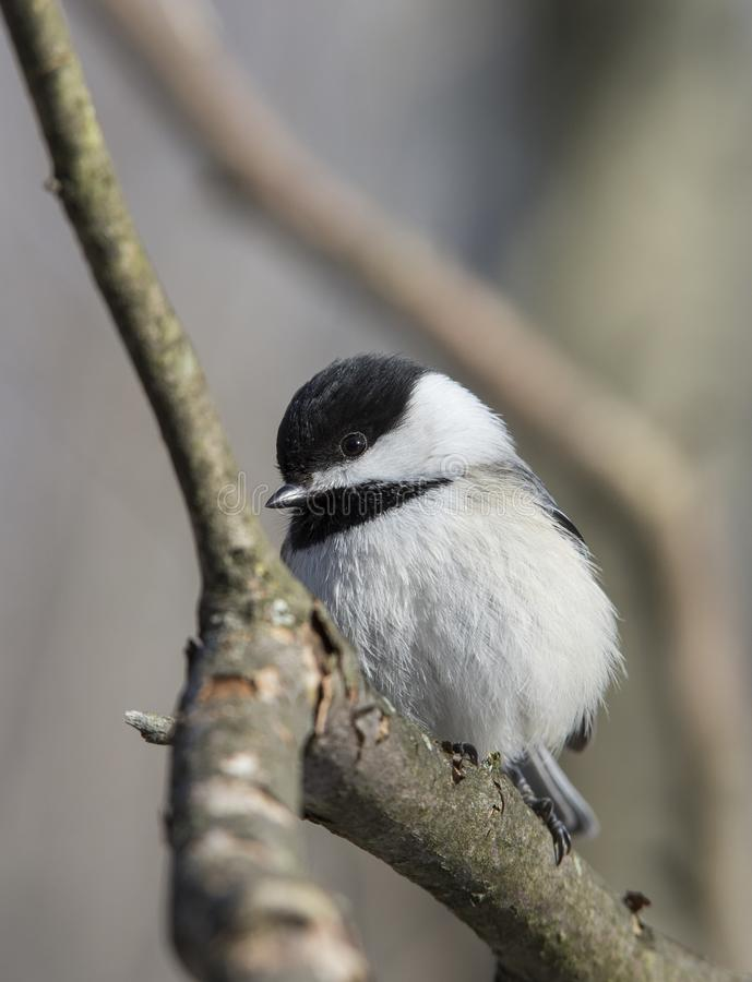 Free Carolina Chickadee Stock Photography - 111371062