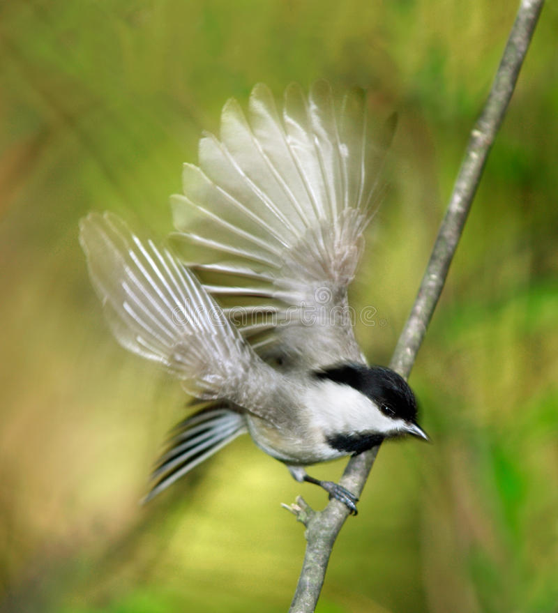 Download Carolina Chickadee Royalty Free Stock Photography - Image: 18550557