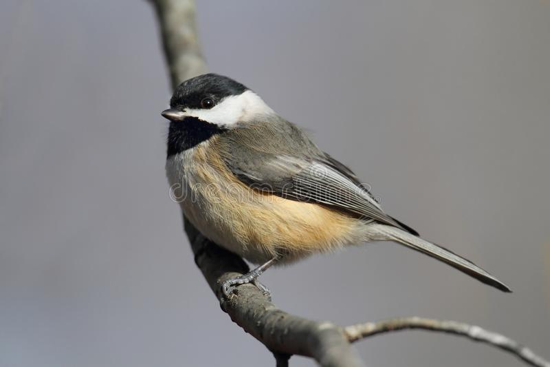 Carolina Chickadee on a Branch stock photos