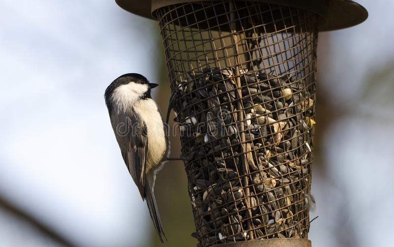 Carolina Chickadee en el alimentador del pájaro del girasol, Atenas, Georgia los E.E.U.U. fotografía de archivo libre de regalías