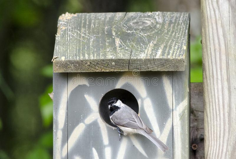 Carolina Chickadee bird in nest box bird house, Athens Georgia USA. Carolina Chickadee, Poecile carolinensis, songbird looks into a wooden birdhouse nest box in royalty free stock images