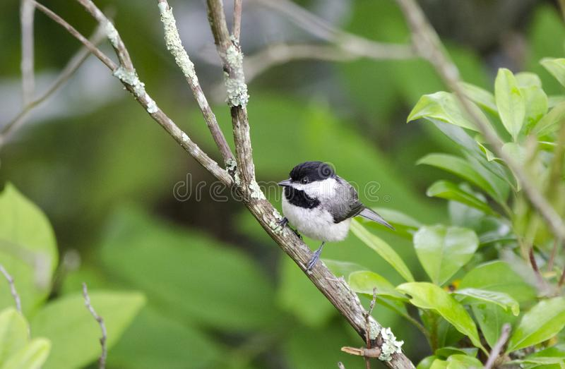 Carolina Chickadee-Singvogel, blauer Ridge Mountains, North Carolina stockbild