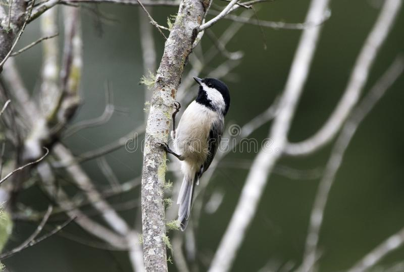 Carolina Chickadee-Singvogel, Georgia USA lizenzfreie stockfotografie
