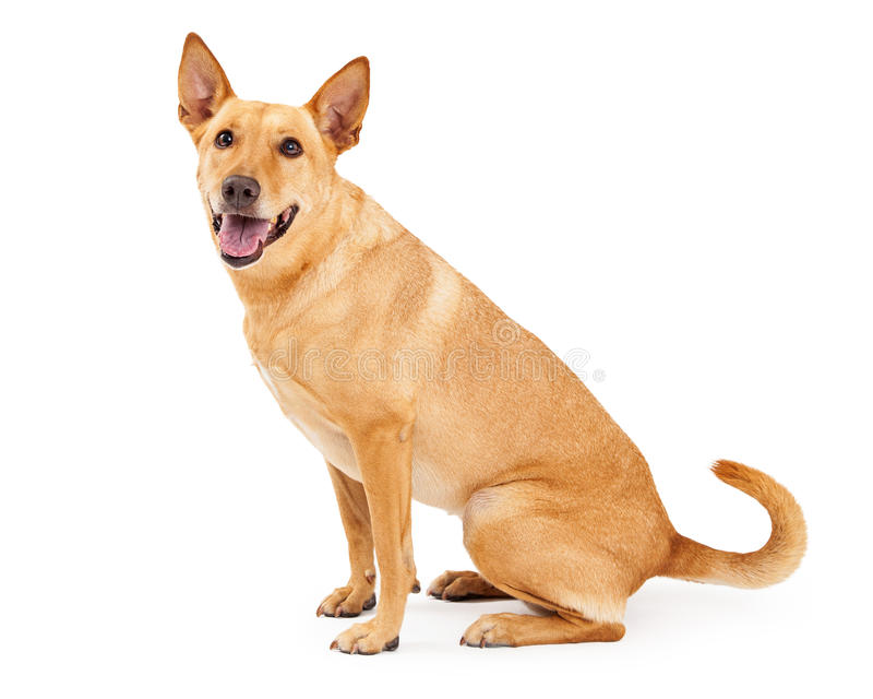 Carolina Dog Sitting Profile royaltyfri foto