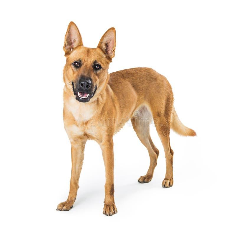 Carolina Dog Standing de sorriso feliz imagens de stock