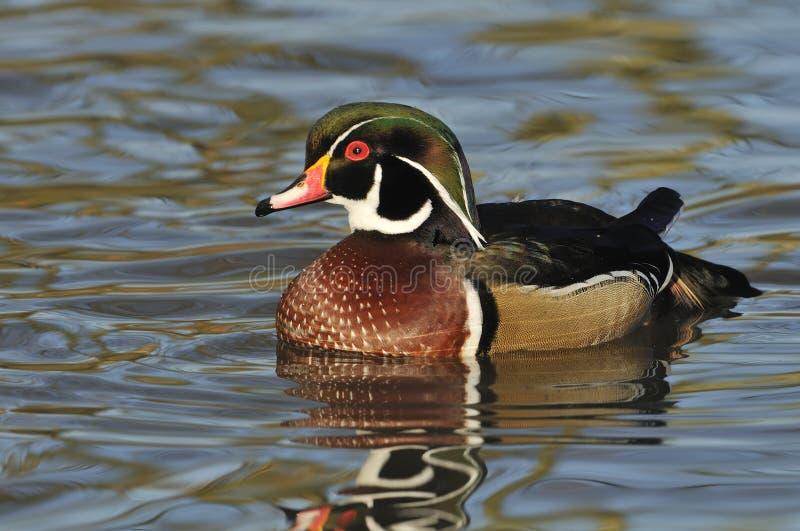 Carolina Duck stock photos