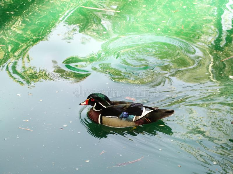 Carolina duck. Male Carolina duck, wood duck Aix sponsa floating in water stock photo