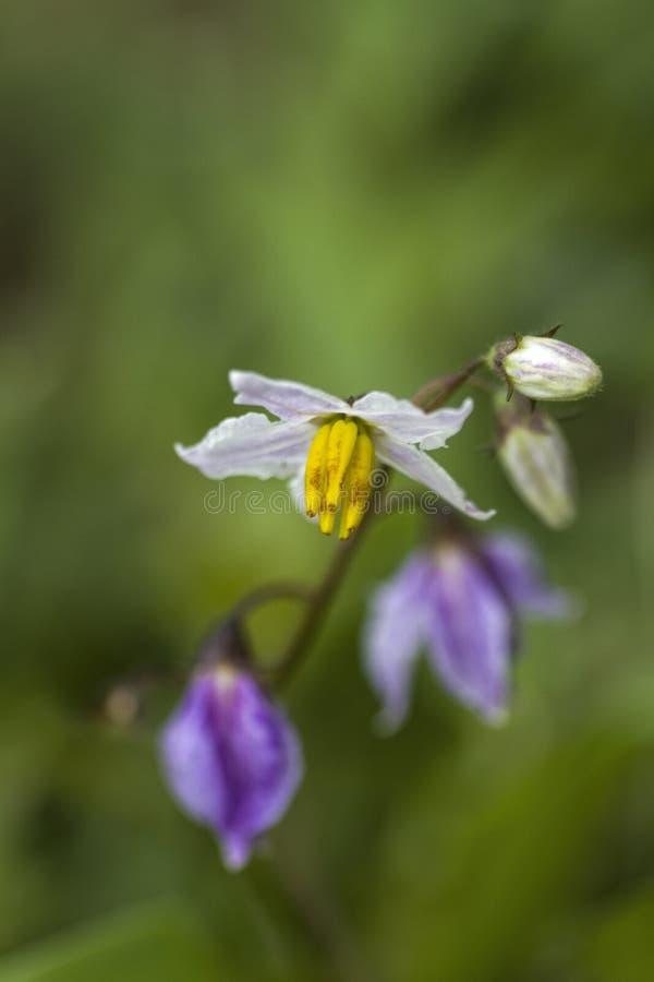 Carolina Horse Nettle Wildflower - Nachtschatten carolinense stockbilder