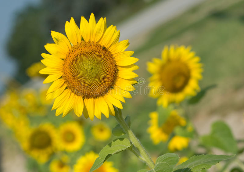 carolina lexington södra solrosor royaltyfria foton