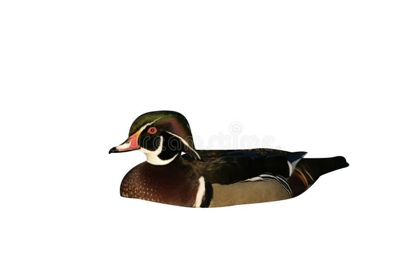 Carolina o pato de madera, sponsa del Aix imagen de archivo libre de regalías