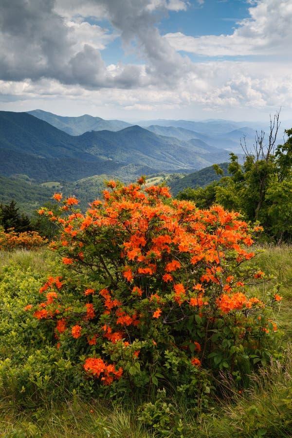 Carolina Orange Flame Azaleas norte imagem de stock