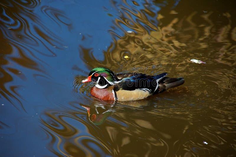 Download Carolina Wood Duck, South Africa Stock Image - Image: 26575751