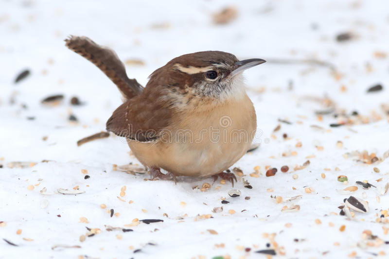 Carolina Wren fotografia de stock royalty free