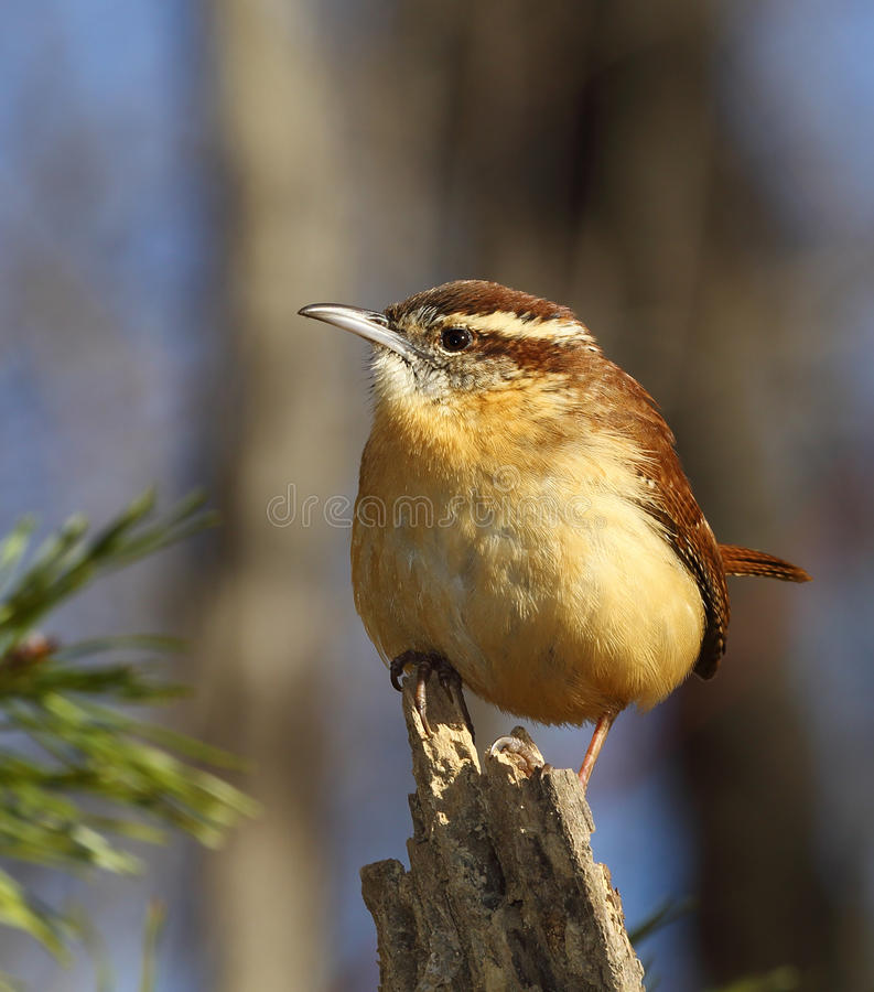 Carolina Wren imagem de stock royalty free