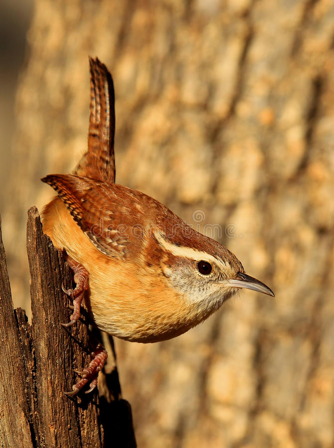 Carolina Wren fotos de stock