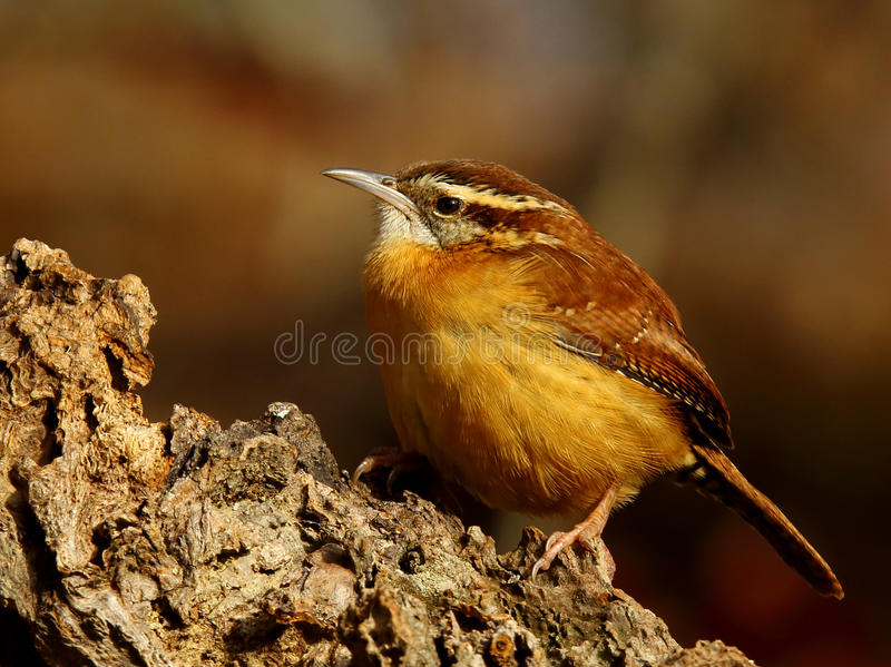 Carolina Wren fotos de stock royalty free