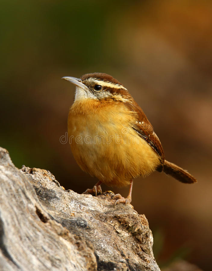 Carolina Wren foto de stock