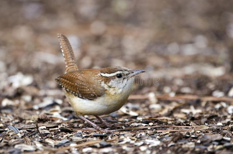 Carolina Wren bird, Athens GA, USA. Carolina Wren, Thryothorus ludovicianus, songbird eating seeds off the ground in Athens, Georgia, USA. In summer it can seem royalty free stock photos