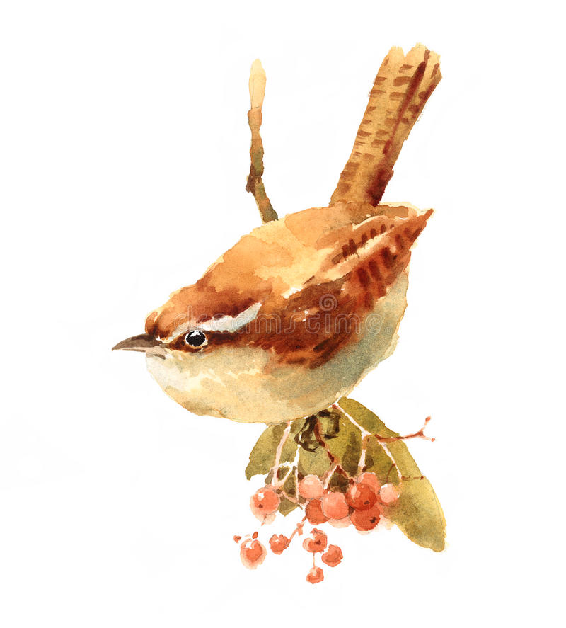 Carolina Wren Bird on the branch with berries Watercolor Illustration Hand Painted stock illustration