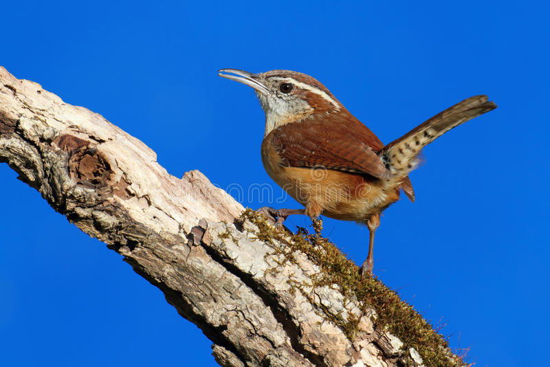 Download Carolina Wren On A Branch stock image. Image of ludovicianus - 18857263