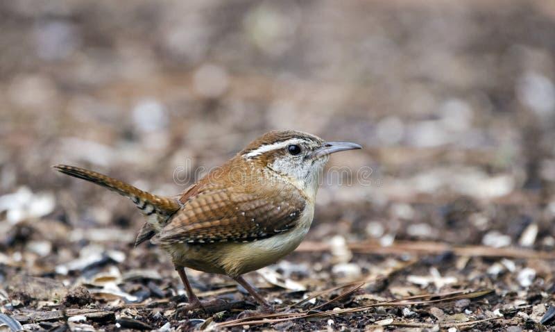 Carolina Wren fågel, AtenGUMMIN, USA royaltyfria foton