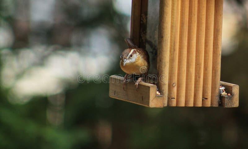 Carolina Wren -Feeder. Single Carolina Wren perched on the edge of a wooden bird feeder on the right of image royalty free stock photo