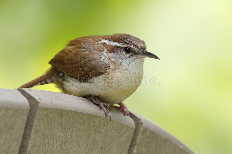 Carolina Wren perched on the back of a chair royalty free stock images