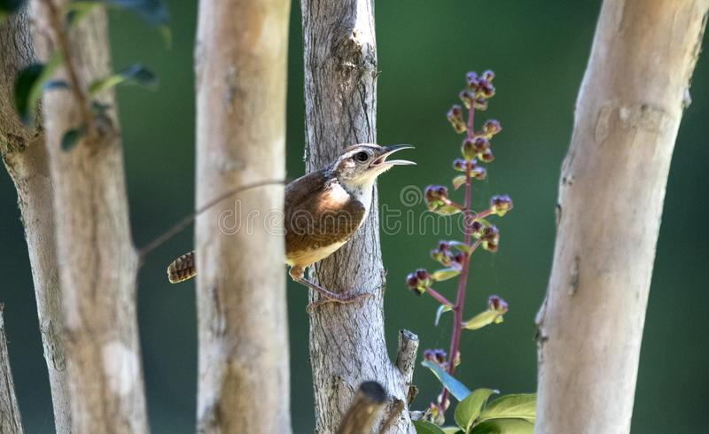 Carolina Wren bird, Clarke County GA USA. Carolina Wren perched singing in Crepe Myrtle tree. July in Athens, Georgia, Clarke County, USA. The Carolina wren stock photo