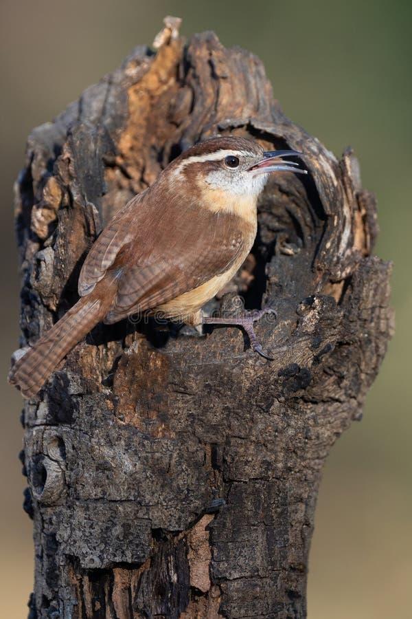 Carolina Wren Perched in a tree fotografia stock