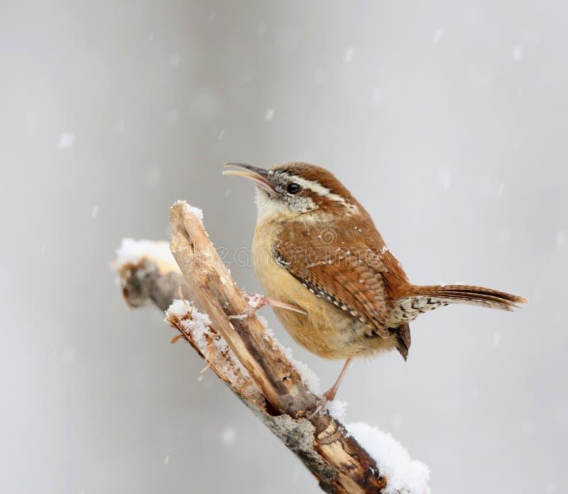 Carolina Wren in sneeuw stock afbeelding