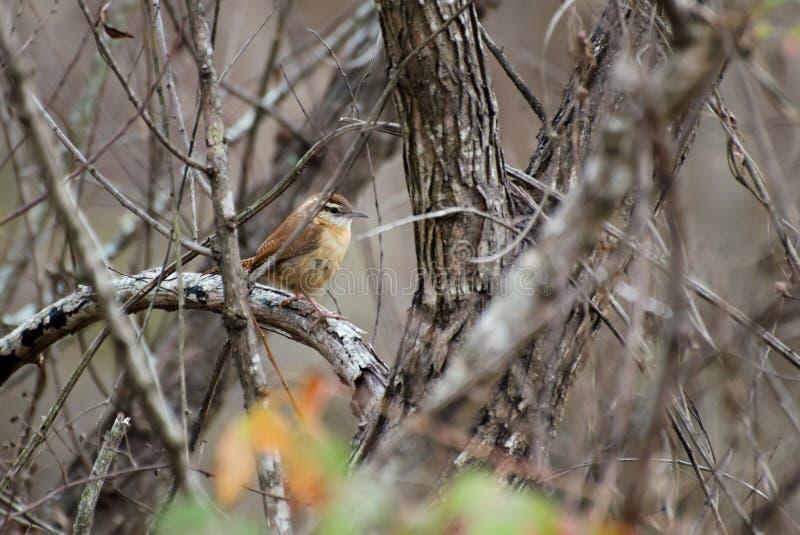 Carolina Wren songbird perch royalty free stock photography