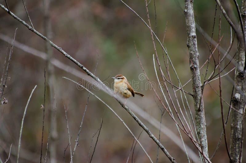 Carolina Wren songbird perch. Carolina Wren, Thryothorus ludovicianus, songbird perched singing, passerine bird, Walton County Georgia royalty free stock photos