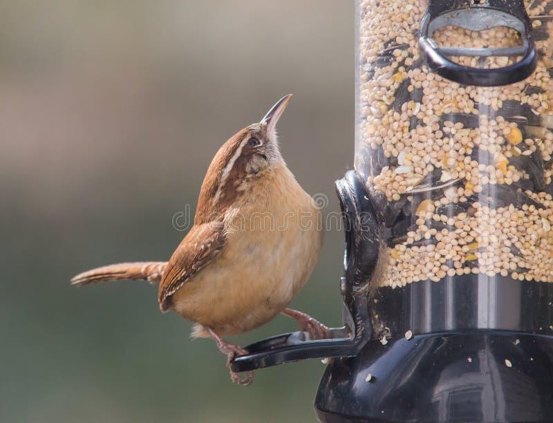 Carolina Wren sur un conducteur d'oiseau photographie stock libre de droits