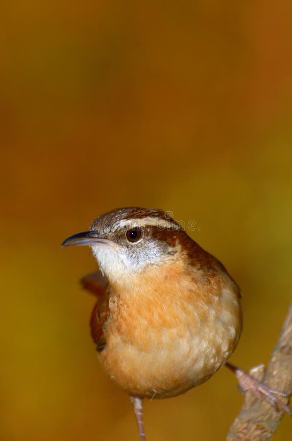 Carolina Wren (Thryothorus Ludovicianus) Royalty Free Stock Photography