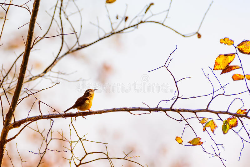 Carolina wren Thryothorus ludovicianus perched on a branch royalty free stock image