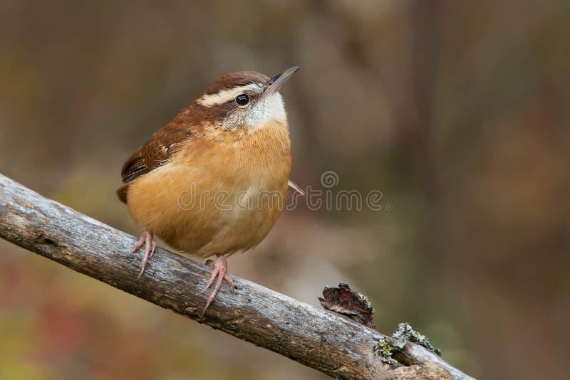 Carolina Wren - Thryothorus ludovicianus photographie stock libre de droits