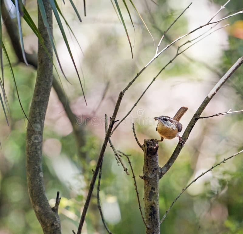 Carolina Wren-vogel die insectvoedsel voor kuikens verzamelen royalty-vrije stock foto