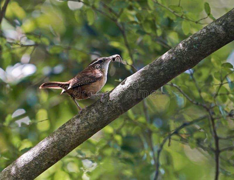Carolina Wren-vogel die insectvoedsel voor kuikens verzamelen stock fotografie