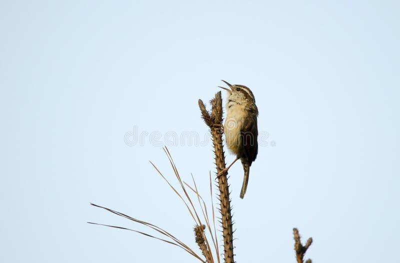 Carolina Wren-zangvogel het sining vanaf boombovenkant, Monroe, Walton County GA royalty-vrije stock foto
