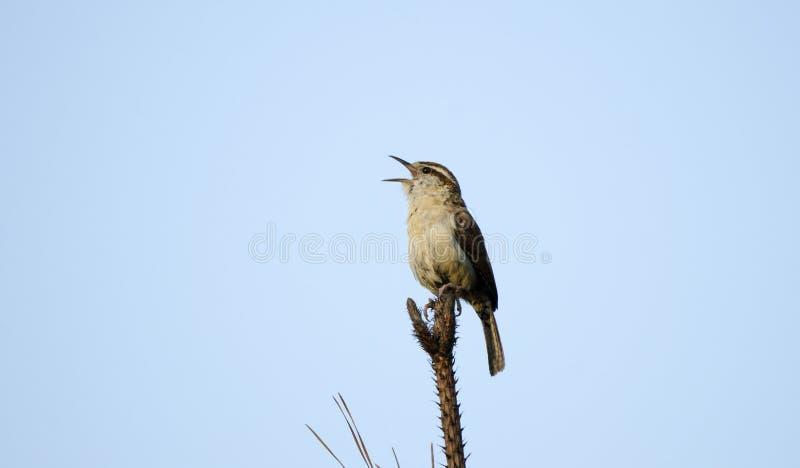 Carolina Wren-zangvogel het sining vanaf boombovenkant, Monroe, Walton County GA royalty-vrije stock afbeelding