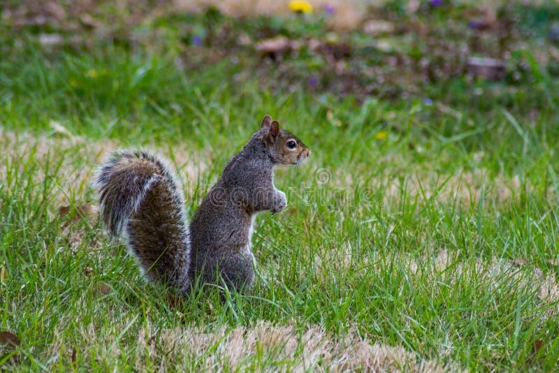 """Carolineensis dello Sciurus del †di Gray Squirrel """" fotografia stock"""