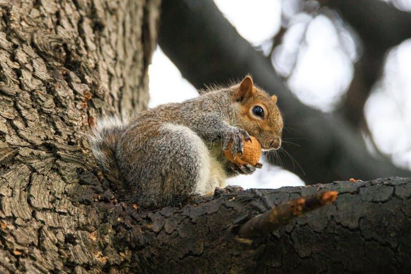 Carolinensis de Gray Squirrel Sciurus fotos de stock royalty free