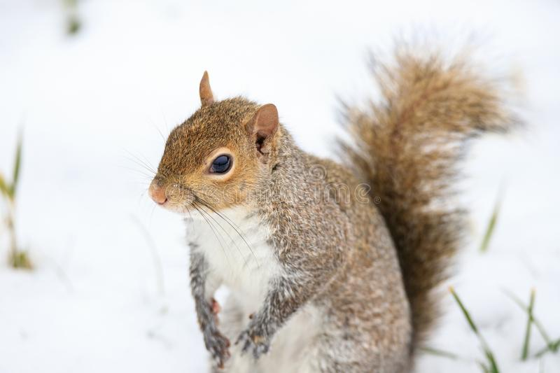 Carolinensis de Gray Squirrel Sciurus imagem de stock royalty free