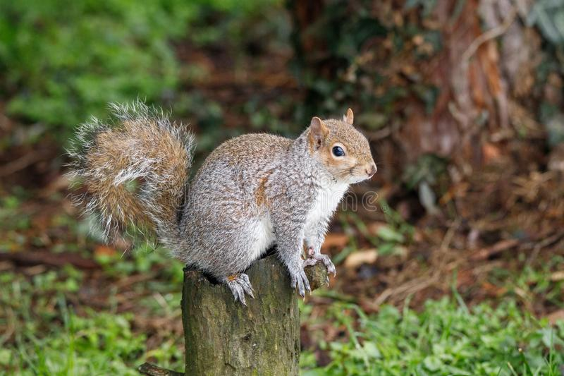 Carolinensis de Gray Squirrel Sciurus foto de stock