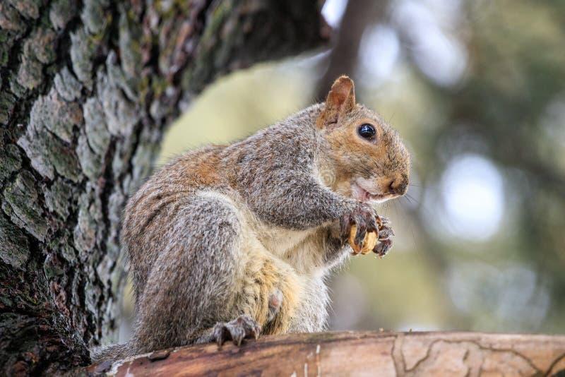 Carolinensis de Gray Squirrel Sciurus imagem de stock
