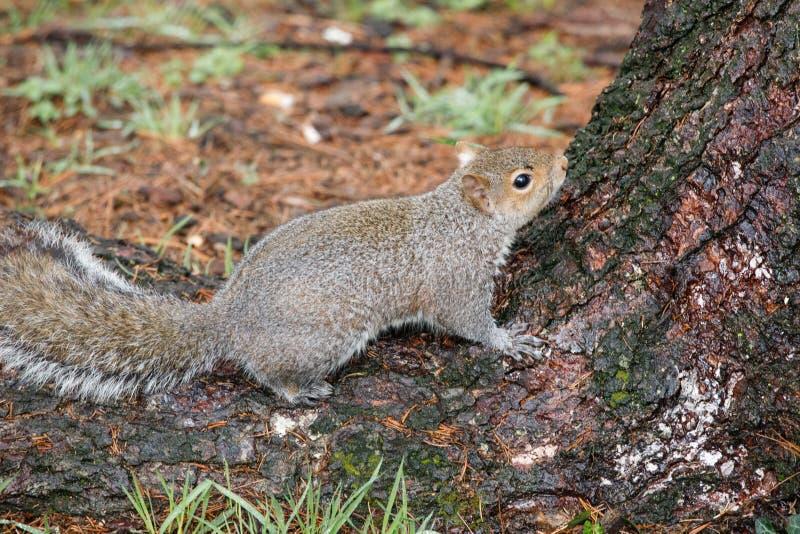 Carolinensis de Gray Squirrel Sciurus fotografia de stock royalty free