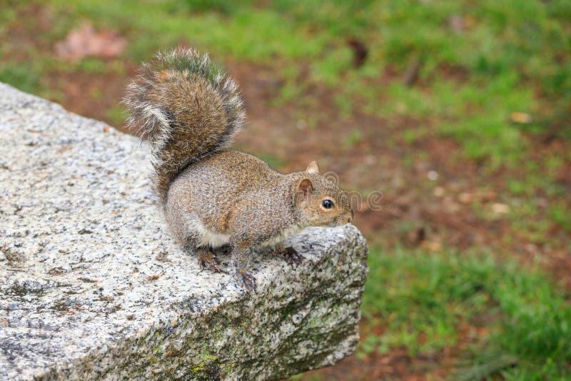 Carolinensis de Gray Squirrel Sciurus fotografia de stock