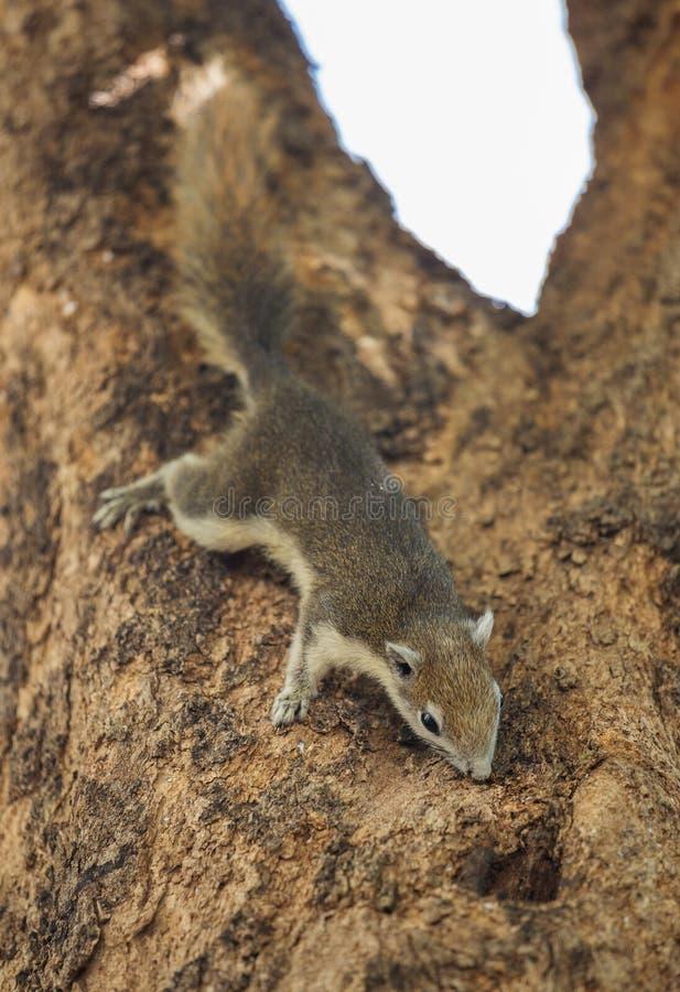 Carolinensis del este de Grey Squirrel Sciurus en árbol fotos de archivo